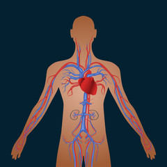Human circulatory system of cardiovascular blood circulation
