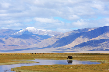 Reflection of grazing yak on lake after beautiful mountain with blue sky and clouds of Western Mongolia. Natural background