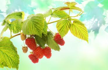 gardening fresh raspberries in nature
