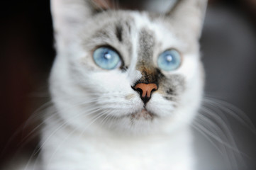 Close-up portrait of blue-eyed white cat with asymmetric color