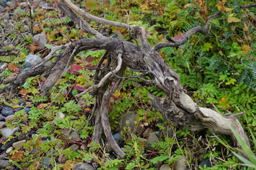 The caprice of nature is an old branch
