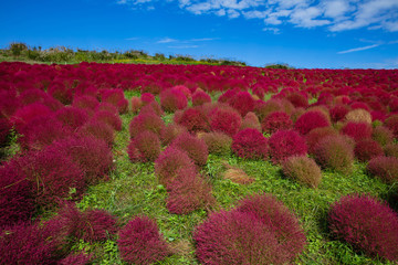 Foto op Aluminium Bordeaux Kochia and cosmos bush with hill landscape Mountain