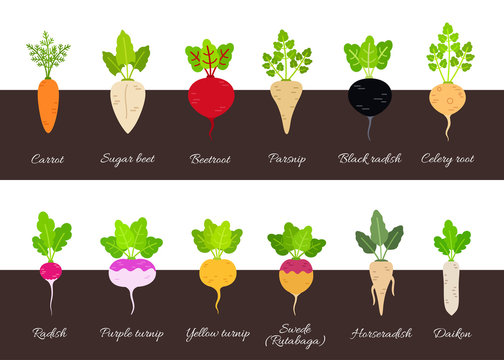 Collection of various growing root vegetables