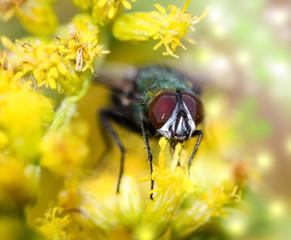 Fliege, Insekt in einer gelben Blütenpracht