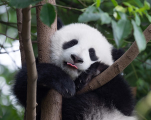 Photo sur Aluminium Panda Happy Panda baby putting his tongue out
