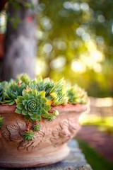Green houseleek in flower pot on morning sunlight