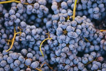 Vineyard grapes autumn sunny day harvest Fototapete