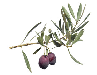Olive tree branch with fruits isolated on a white background