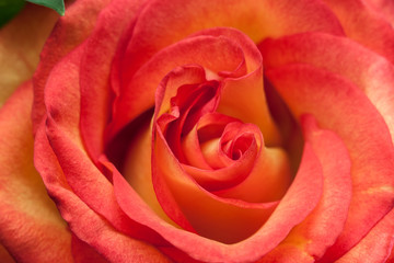 Beautiful rose bud