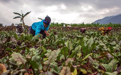Assoumpata Uwamariya works on a beetroot farm in Rubavu district, Western province