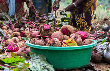 Raw beetroot bulbs harvested from a farm are packed in a basin in Rubavu district, Western province