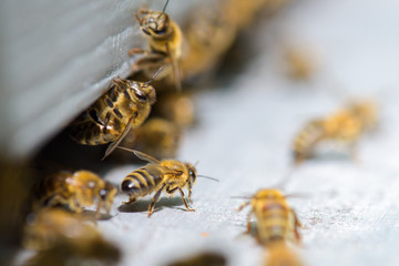 bees exiting the hive