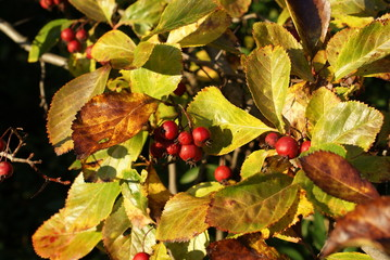 Beautiful garden tree with red berry wild nature in Autumn septemeber