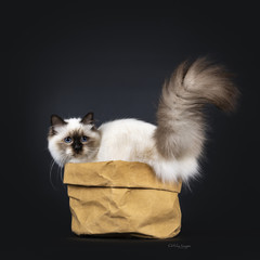 Adorable excellent seal point Sacred Birman cat kitten standing side ways / backwards in brown paper back, looking over shoulder at fierce lifted tail, isolated on black background