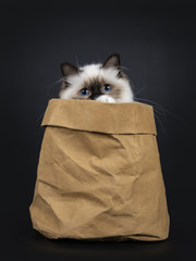 Adorable excellent seal point Sacred Birman cat kitten in brown paper back, just peeping over the edge with only eyes and a piece of paw, isolated on black background