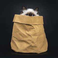 Adorable excellent seal point Sacred Birman cat kitten in brown paper back, just peeping over the edge with only eyes, isolated on black background