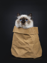 Adorable excellent seal point Sacred Birman cat kitten in brown paper back, looking up, isolated on black background