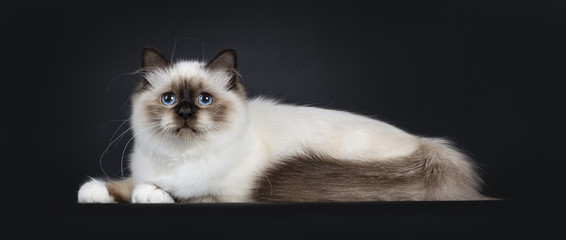 Adorable excellent seal point Sacred Birman cat kitten laying down side ways, looking at camera isolated on black background with tail folded beside body