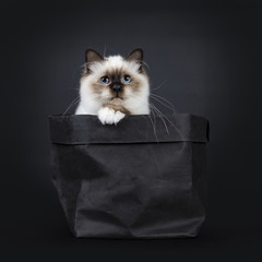 Adorable excellent seal point Sacred Birman cat kitten in black paper back with one paw on edge and looking to lense, isolated on black background