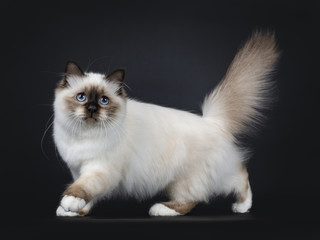 Adorable excellent seal point Sacred Birman cat kitten walking side ways with tail fierce in the air, looking beside camera isolated on black background