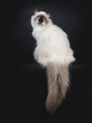 Adorable excellent seal point Sacred Birman cat kitten sitting backwards, looking a bit up over shoulder to camera isolated on black background wit tail hanging down from edge