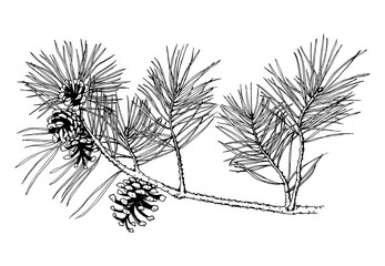 Hand drawn pine tree branch with cones isolated on white background. Vector illustration. Black pen in vintage engraved style
