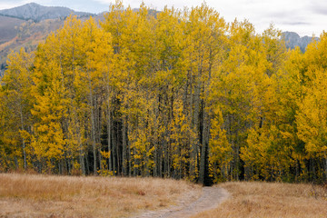 Hiking Trail Going Through an Aspen Grove with Yellow Leaves in Fall in Utah Mountains