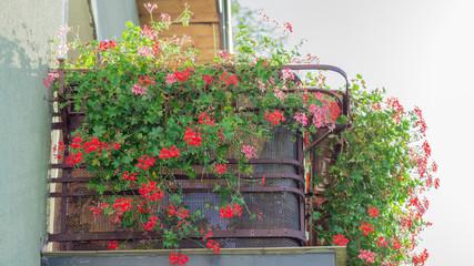 Pelargonie na balkonie