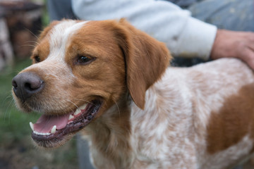 Portrait of a hunting dog