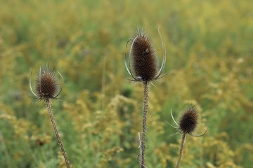 teasels close up in a field