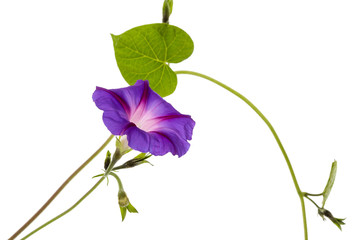 Ipomoea flower, Japanese morning glory, isolated on white background