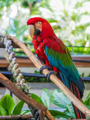 Large red scarlet macaw Ara macao