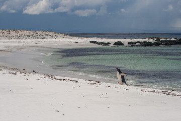 Gentoo penguin alone emerging from the water onto the beach after fishing in the sub-Antarctic