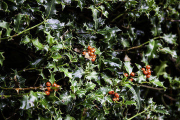 Christmas holly leaves