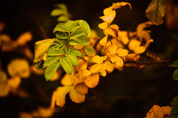 Photo of dog-rose leaves and berries. Golden autumn.