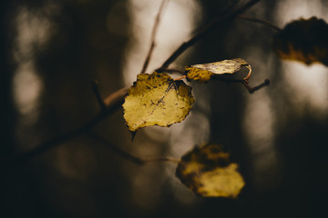 Photo of aspen leaves on a tree. Stylized as analog gained photo. Golden autumn. Warm brown and dark background.