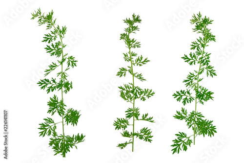 Isolated Artemisia Medicinal Herb Plant  Also Mugwort, Wormwood, and