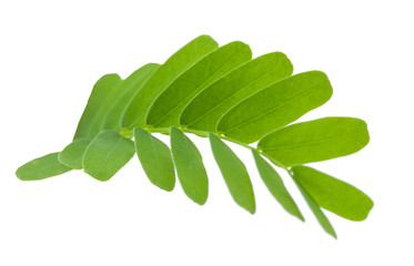 Tamarind leaves isolated on gray background with clipping path.