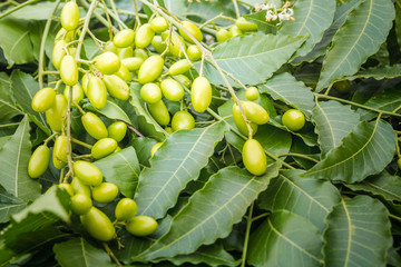 Medicinal neem leaves with fruits close up.