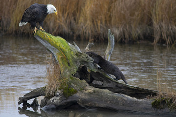 Bald eagle and river otters