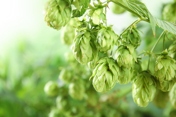 Bine with fresh green hops and space for text on blurred background. Beer production