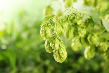 Fresh green hops on bine against blurred background. Beer production