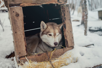 Siberian Husky dog lying in the box home at husky farm.