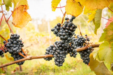 Close up of purple grapes in clusters with autumn leafs, beautiful agriculture view.