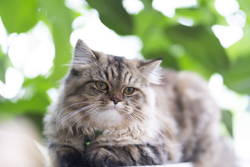 Persian Cats, Persian gray-brown cat in the garden.