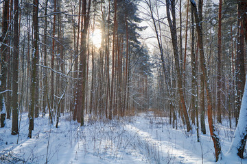 Beautiful winter forest in sunny and cold weather after snowfall