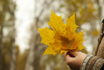 yellow autumn bouquet of fallen maple leaves in the hand of a girl in the park, closeup