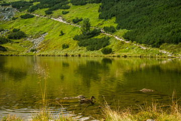 A beautiful brown female duck swimming in the mountain lake. Mountain landscape with birds. Tatra mountains, Slovakia.
