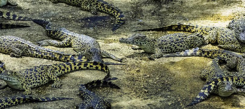Cuban crocodile (Crocodylus Rhombifer) is a small species of crocodile endemic to Cuba - Peninsula de Zapata National Park / Zapata Swamp, Cuba