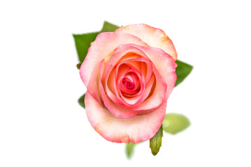 Pink rose isolated on white. Top view.